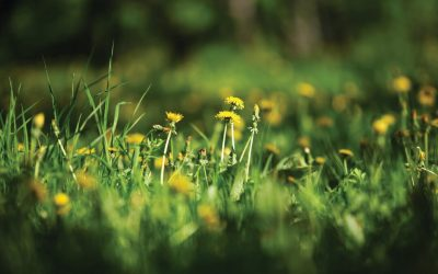 How to Get Rid of Dandelions in Lawn