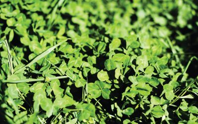 How to Deal With Clover on Your Lawn